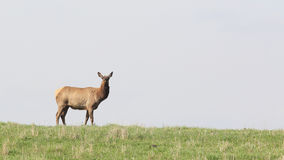 Elk cow. Standing in a field looking toward camera Stock Photography