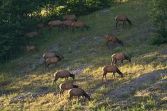 Female Elk Cows Grazing Stock Images