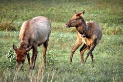 Elk Cows In The Great Smoky Mountains National Park. In the Great Smoky Mountains National Park at Cataloochee the Elk, graze, sleep, and lick their noses! Over royalty free stock image