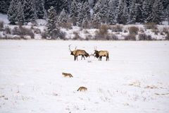 Elk and Coyote. Bull elk and coyote in winter at Rocky Mountain National Park Royalty Free Stock Photography