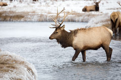Elk. An elk in a creek Stock Photography