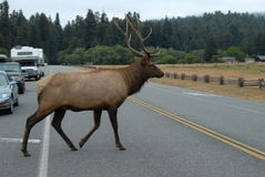 Elk crossinf the road(2) Royalty Free Stock Image