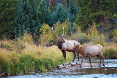 Elk Crossing. A bull elk and his cow cross a small stream in Colorado Stock Photography
