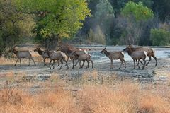 Elk crossing. A herd of elk cross this smal stream Stock Photo