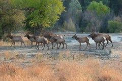 Elk crossing. Stock Photo