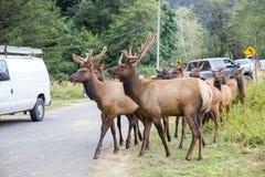 Elk crossing Stock Images