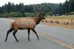 Elk crossing the road Royalty Free Stock Images