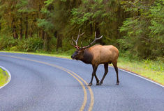Elk Crossing the Road Olympic NP WA Royalty Free Stock Photos