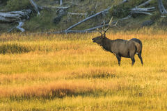 Elk at Dawn in Yellowstone National Park Royalty Free Stock Image