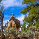 Elk Deer grazing in Arizona Grand Canyon Park Stock Images