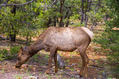 Elk Deer grazing in Arizona Grand Canyon Park Stock Image
