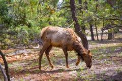 Elk Deer grazing in Arizona Grand Canyon Park Stock Photo
