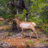 Elk Deer grazing in Arizona Grand Canyon Park Stock Photos