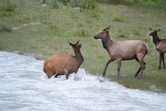 Elk deers while crossing a river Stock Photography