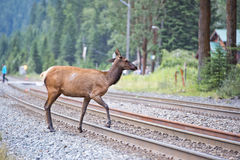 Elk deers near railway station in Rocky Mountains Stock Photos