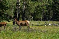 Elk Doe in Banff Stock Images