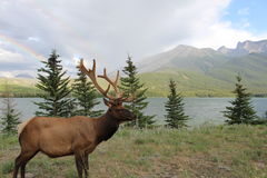Elk with double rainbow in the background Stock Photo