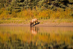 Elk drinking from river with reflections Stock Photography