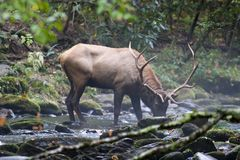 Elk Drinking Water Stock Photography