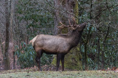 Elk eating at Cataloochee Valley, Great Smoky Mountains National Stock Photos