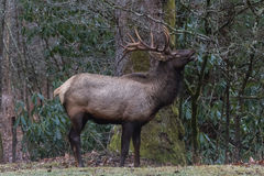 Elk eating at Cataloochee Valley, Great Smoky Mountains National Stock Images