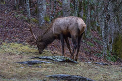 Elk eating at Cataloochee Valley, Great Smoky Mountains National Royalty Free Stock Photography