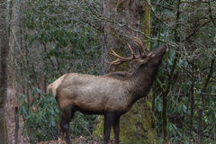 Elk eating at Cataloochee Valley, Great Smoky Mountains National Royalty Free Stock Image