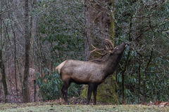 Elk eating at Cataloochee Valley, Great Smoky Mountains National Stock Image