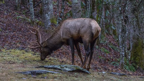 Elk eating at Cataloochee Valley, Great Smoky Mountains National Stock Photography