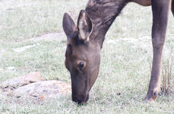 Elk eating grass Face and foreleg only Stock Photo