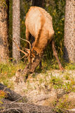 Elk eating on a river bank Stock Image