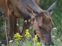 Elk eating among the wild flowers Royalty Free Stock Images