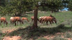 Elk in Estes Park, CO Royalty Free Stock Photos