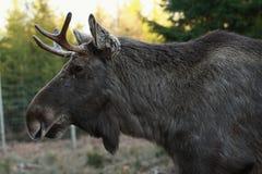 Elk European Royalty Free Stock Photo