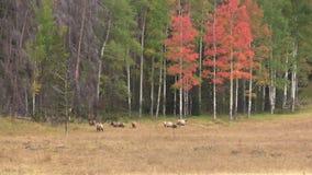 Elk in Fall Landscape stock video