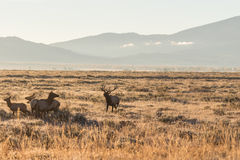 Elk in Fall Rut Royalty Free Stock Photo