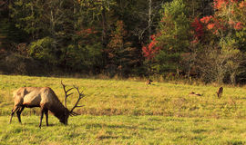 Elk Family Stock Image