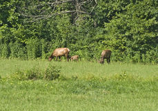 Elk Family (Bull, Cow and Calf) Stock Image