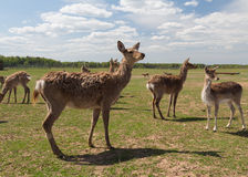 Elk Family Royalty Free Stock Photo