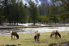 Elk Family Herd Grazing Peacefully In Yellowstone. Elk family herd grazes on green grass in Yellowstone National Park, Wyoming USA Stock Photo