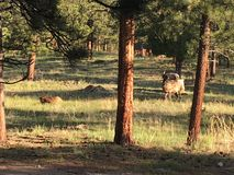 Elk. Family of elk in Rocky Mountains Royalty Free Stock Photos
