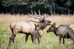 Elk family together in an open field. Stock Photography
