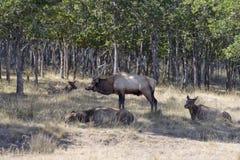 Elk family Royalty Free Stock Photos
