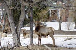 Elk Farming. Elk,red tailed deer or wapiti yields lean red meat stock photography