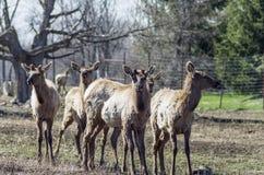 Elk Farming. Elk,red tailed deer or wapiti yields lean red meat royalty free stock image