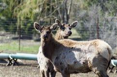 Elk Farming. Elk,red tailed deer or wapiti yields lean red meat royalty free stock photo