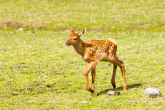 Elk Fawn Stock Photo