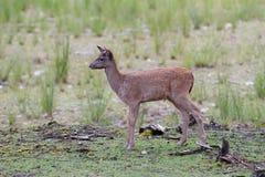 Elk fawn closeup in autumn Royalty Free Stock Photos