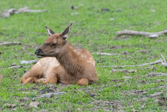 Elk Fawn. A young elk fawn resting Stock Photos