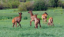 Elk Fawns Playing Royalty Free Stock Image